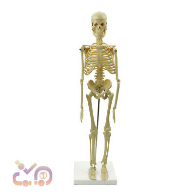 45CM Anatomical Skeleton Human Model Stand Poster Medical Learn Aid Anatomy