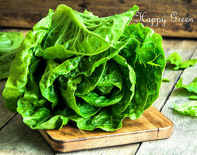 Vegetable - BUTTER LETTUCE - MAY QUEEN - 2000 seeds - Early variety
