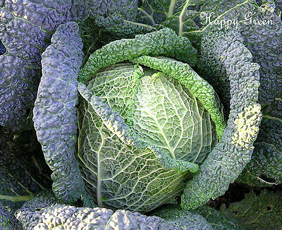 VEGETABLE - ITALIAN SAVOY CABBAGE - 1100 SEEDS - Brassica o.s. - Late variety
