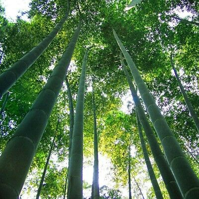 Bulk Seed 60 Giant Moso Bamboo Seeds Pubescens For Garden Home Seeds S055