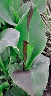 CANNA LILY CLEOPATRA everchanging flower colours