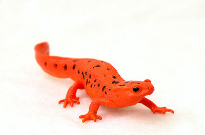 Kitan Club Nature Techni Colour Japanese Fire Belly Newt Magnet New Figure