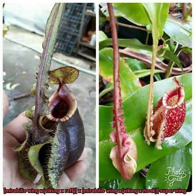"FRESH Nepenthes ""[wing x (viking x raff)] x [wing x (viking x hook)]-(20+ seeds)"