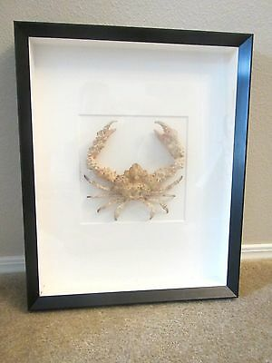 Christopher Marley Pheromone $488 Rock Crab Framed Art Taxidermy Marine