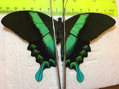 IND05 A+/ A  Papilio blumei Beautiful Iridescent Blue and Green Jumbo