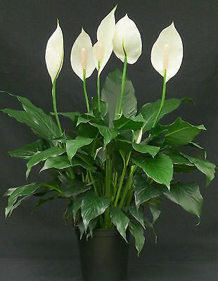 9cm Pot Spathiphyllum House Plant Peace Lily Easy Maintenance