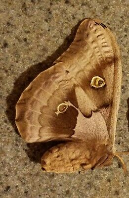 Unmounted Antherea Polyphemus Female Moths Ex-Pupae wings folded 2 Avail.