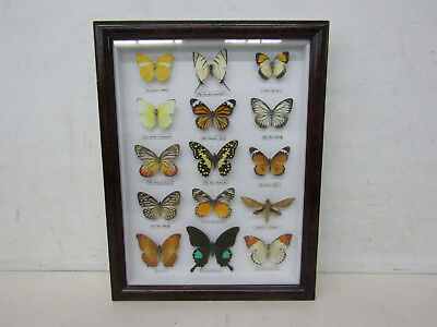 Gorgeous Framed Glass Enclosed 17x13 Butterfly + Moth Specimen Collection