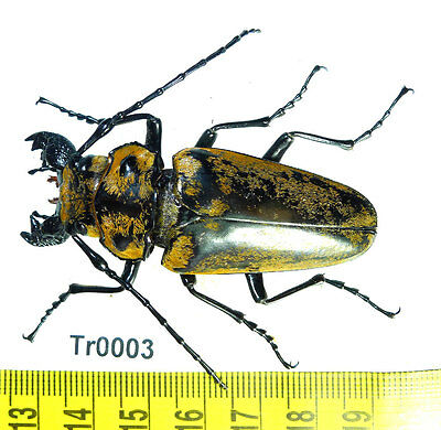 Tr0003 Trictenotomidae Large Beetle  Real Insect North Vietnam