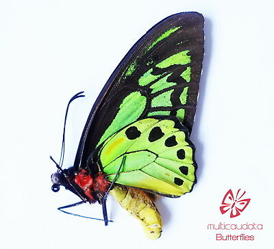 Ornithoptera Priamus Teucrus  | From Biak Isl | Male | Papered | A1 ************