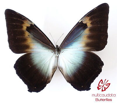 MORPHO CISSEIS SSP. PHANODEMUS | FROM PERU | MALE | MOUNTED )154 mm | A1 *******