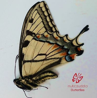 Papilio Glaucus  | From Indiana, Usa | Male (Spring) | Papered | A1 ************