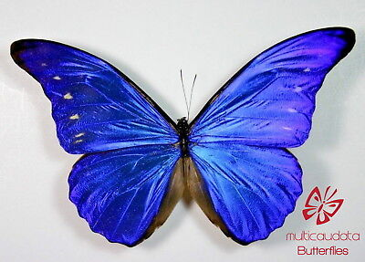 Morpho Rhetenor Cacica | From Pucallpa, Peru | Male | Papered | A1 **