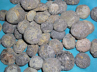 Sea urchin fossils 165 million year old 3 fossil lot 1/2 to 1.5 inch  N.Africa