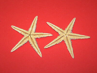 Medium (5 - 7cm) Natural Starfish - Craft Work, Embellishments, Displays etc.