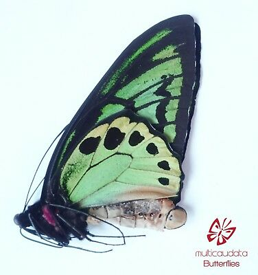 Ornithoptera Priamus Arruana| From, Aru Is. | Male | Papered | A1 **************