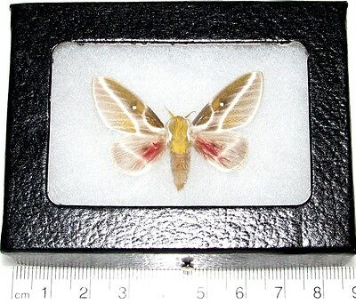 Real Framed Butterfly Saturn Moth Syssphinx Gomezi Rare Saturniidae