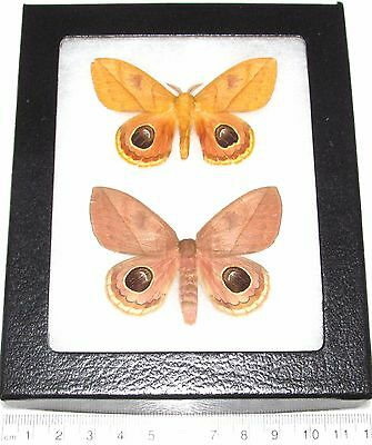 Real Framed Butterfly Saturn Moth Saturniidae South American Automeris Pair