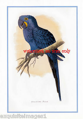 Antique Art~Hyacinth Macaw Parrot~ NEW Large Note Cards