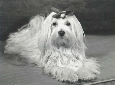 Vintage Photo~Beautiful Maltese Puppy Dog with Bow in Hair~NEW Large Note Cards