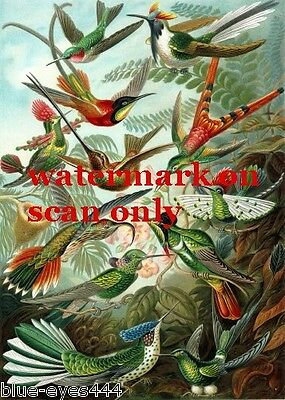 1899 Antique Art~Hummingird~ Hummingbirds~Haeckel's Trochilidae~ NEW Note Cards
