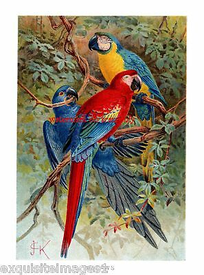 Antique Art~R.Lydekker Macaw Parrots~NEW Lge Note Cards