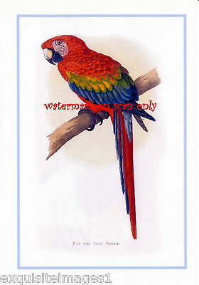 Antique Art~Red & Blue Macaw Parrot~NEW Lge Note Cards