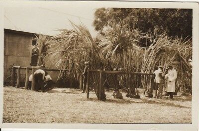 Australian RP Postcard Sugar Cane at the Hubert River, North Qld Early 1900s