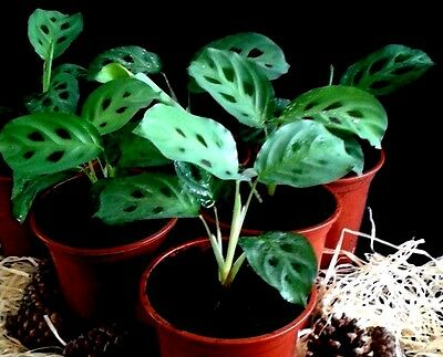 1 Maranta Prayer Plant-The Plant That folds its leaves at night as if in prayer