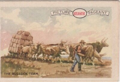 Atlantic Petrol - Australian bullock team carting wool-bales.
