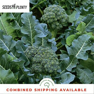 BROCCOLI - Green Sprouting Calabrese (800 Seeds) HEIRLOOM Bulk