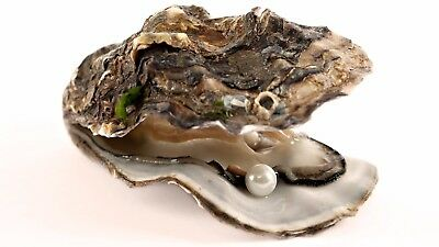 Pearl in Oyster - Unopened