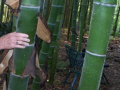100+ graines Phyllostachys pubescens Moso Bambou,bambou géant,moso bamboo seeds