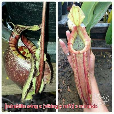 "FRESH Nepenthes ""[mira wing x (viking x raff)] x miranda"" (20+ seeds)Carnivorous"