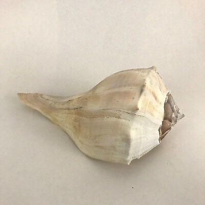 """Large LIGHTNING WELK Conch SEA SHELL 9"""" long x 4 3/4"""" wide All Natural"""