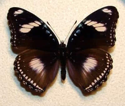 Hypolimnas bolina f. Real butterfly without a frame