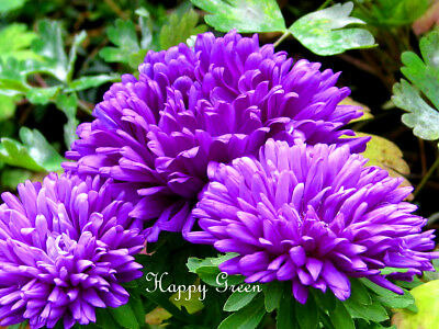 Aster Dwarf Milady Lilac - 400 seeds - Callistephus ch. - Double large flower