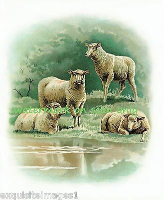 1896 Childrens' Illustration~Four Lge White Sheep at Water's Edge~NEW Note Cards