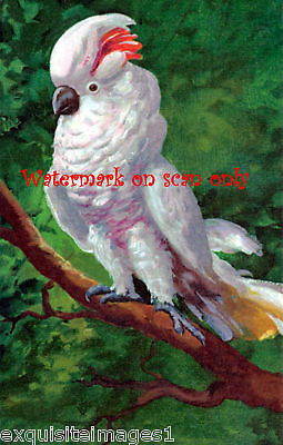 Antique Art~Colorful Cockatoo Parrot in Tree Note Cards