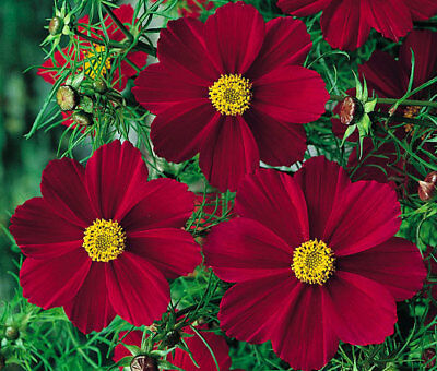 Cosmos Bipinnatus Red Dwarf Heirloom Seed Mix Approx. 300 Seeds or 3.48g