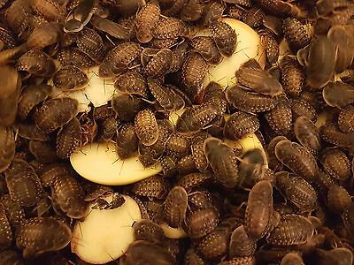 Dubia Roaches- High quality livefood - Lower price, bigger quantity.