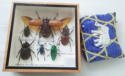 Rare Real Insect Insects Display Taxidermy in Wood Box Eupatorous Beetle Gift FS