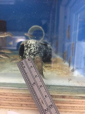 Bristlenose Pleco. 10 FOR £5