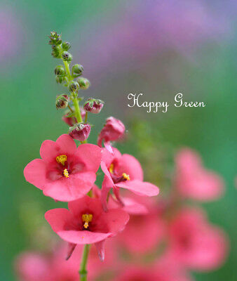 DIASCIA PINK QUEEN - Diascia barberae  - 300 seeds - Hanging baskets