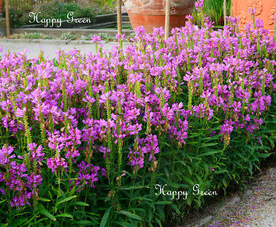 OBEDIENT PLANT -  Physostegia virginiana - 35 seeds - Perennial flower