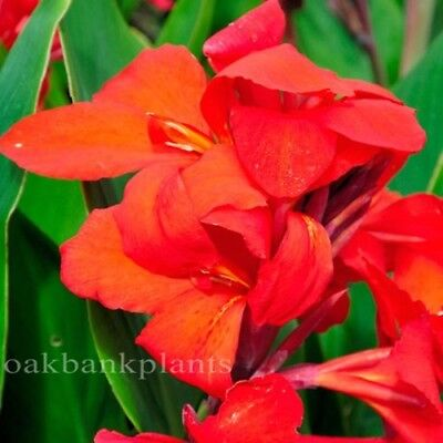 CANNA LILY DR EISLER glowing red canna
