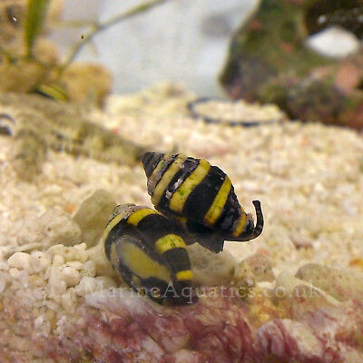 BUMBLE BEE SNAILS (Pusiostoma (engina) mendicaria) CLEAN UP CREW MARINE AQUARIUM