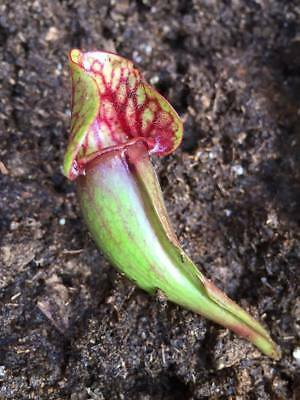 "FRESH Sarracenia ""purpurea"" (30+ seeds) Carnivorous Pitcher Plant"