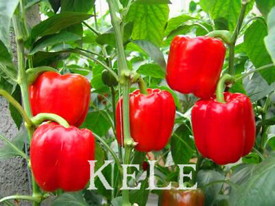 Hot Selling 100pcs Red Sweet Pepper Seeds, Vegetable Seeds, Bell Pepper Seeds