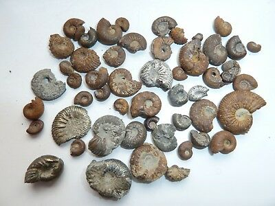 fossil pyrite ammonite collection jurassic Dorset